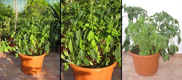cultivo en macetas: pimiento dulce italiano « huertodomestico