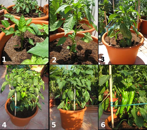 Cultivo en macetas pimiento dulce italiano for Plantar pimientos y tomates