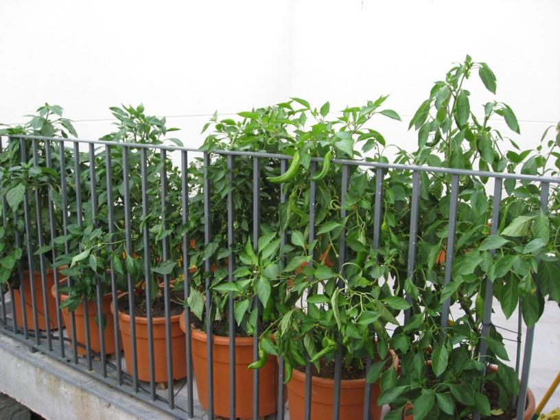 Huerto urbano en macetas for Cultivo pimiento huerto urbano